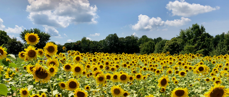 Idgie's Sunflower Farm: A Burst of Sunshine in Western Kentucky | Her Life in Ruins